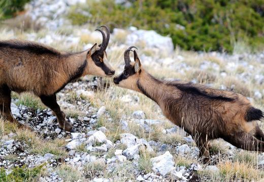 I camosci nel Parco Nazionale dello Stelvio