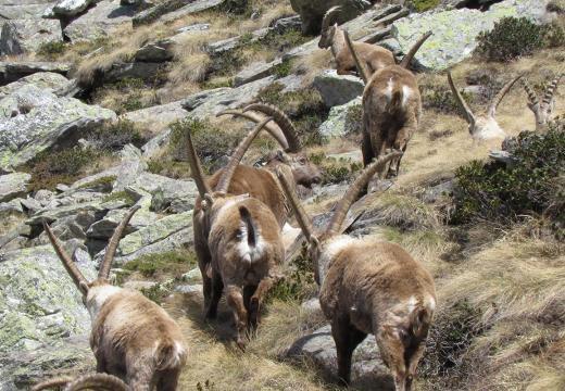 Stambecchi del Parco Nazionale dello Stelvio