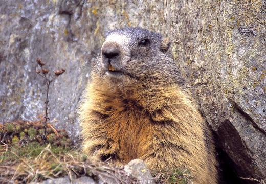 La marmotta nel Parco Nazionale dello Stelvio
