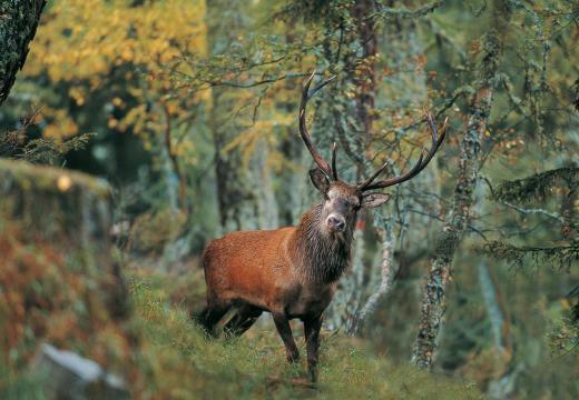 Il Cervo nel Parco Nazionale dello Stelvio