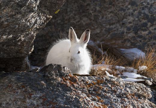 La lepre variabile o lepre bianca nel Parco Nazionale dello Stelvio
