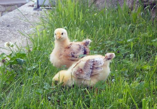 I pulcini appena nati