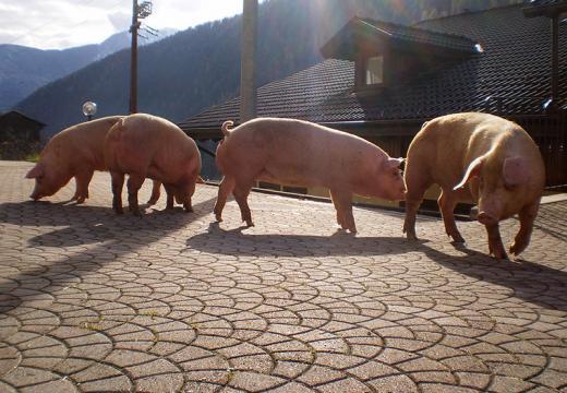 Vieni a conoscere il maiale